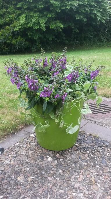 Eine robuste Lubelienart - sagt meine Floristin des Vertrauens